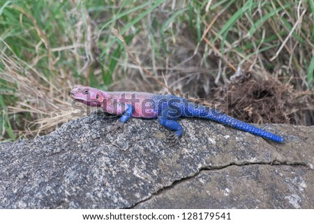 Pink and blue agama lizard sits on grey stone. Serengeti National Park, Great Rift Valley, Tanzania, Africa.