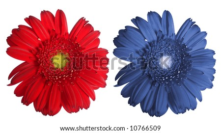 Pink and blue daisy isolated over white background