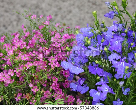 Pink and blue flowers, Lobelia