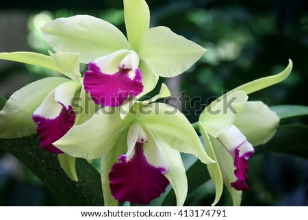 Pink and green colored orchid in full bloom - stock photo