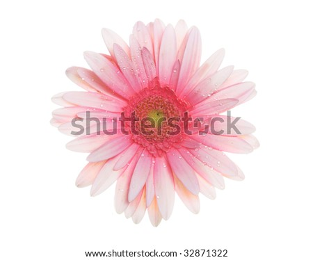 Pink and orange colored gerbera on the white background.