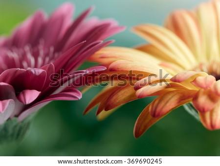 Pink and orange daisy gerbera flowers. Shallow DOF - stock photo