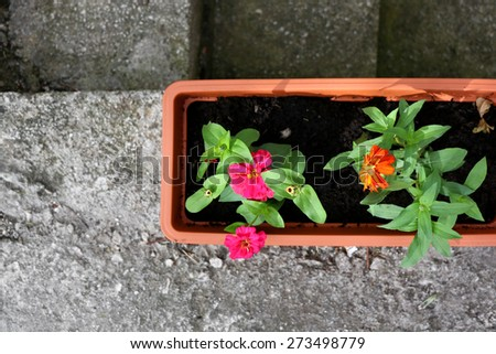 Pink and orange flowers growing in a pot outside. Top view, selective focus.  - stock photo