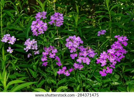 Pink and purple fireweed flowers - stock photo