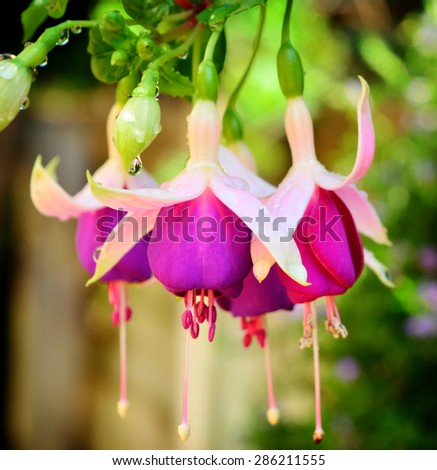 Pink and purple fuchsia flowers covered with rain drops. Isolated against natural background. Selective focus - stock photo