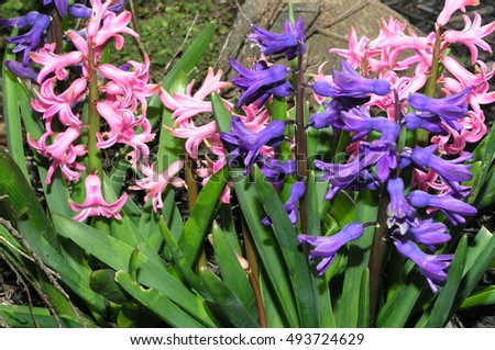 pink and purple hyacinth in the garden