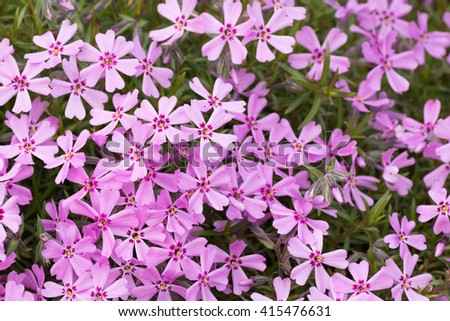 Pink and purple moss phlox flowers. Detail - stock photo