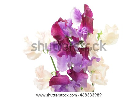 Pink and purple sweet pea isolated on white background