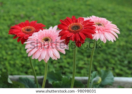 Pink and red gerberas against defocused green grass background. - stock photo