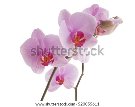 pink and red orchid flower isolated closeup
