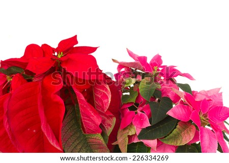 pink and red  poinsettia flower or christmas star  close up isolated on a white background  - stock photo