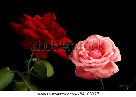 Pink and red rose on black background - stock photo