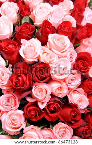 pink and red roses - stock photo