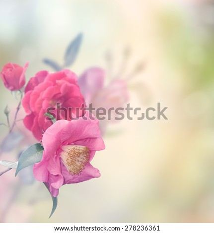 Pink And Red Roses Blossom - stock photo