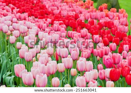 Pink and red tulips on the flowerbed in Keukenhof. Shallow depth of field - stock photo