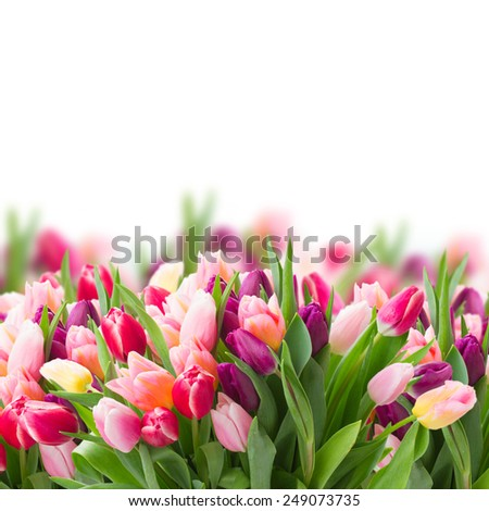 pink  and violet tulips   on white background - stock photo