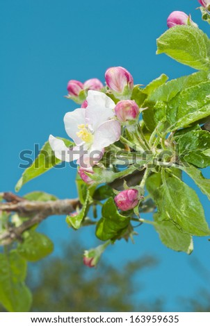 pink and white apple blossoms and buds blooming
