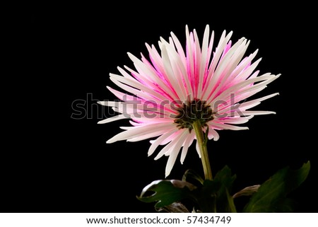 Pink and White Chrysanthemum on Black Background