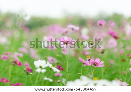 pink and white cosmos flower field
