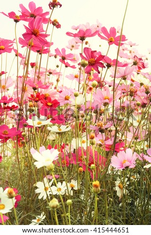 Pink and White Cosmos flowers blooming in the garden. - stock photo