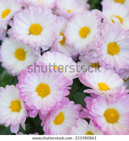 pink and  white flower in the garden - stock photo