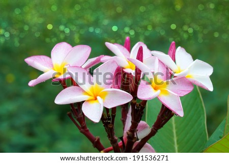 pink and white frangipani flower.