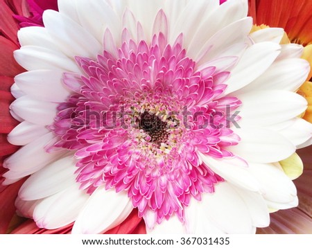 Pink and white gerbera flower