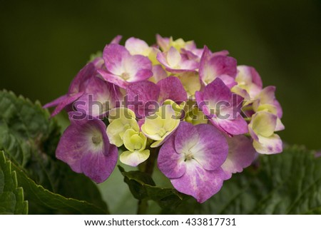 Pink and white hydrangea in summer during rainy season