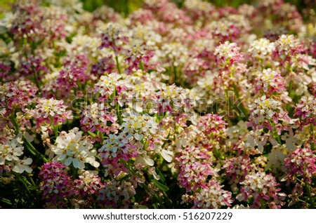 pink and white iberis flowers, closeup
