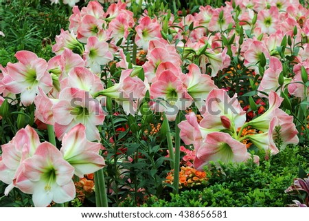 Pink and white Lily Flowers in full bloom in the field - stock photo
