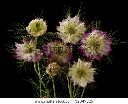 Nigelle de damas stock photos images pictures - Nigelle de damas ...