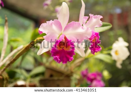 Pink and white orchid in bloom. Cattleya orchids in greenhouse. Blurred background. Growing orchids. Orchids care - stock photo