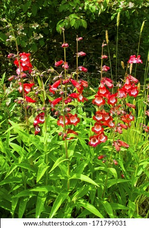 Pink and white penstemon plants in a herbaceous border. - stock photo