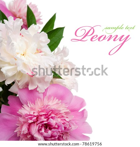 Pink and white peonies on the white background with space for text - stock photo