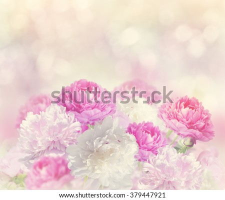 Pink and White Peony Flowers - stock photo