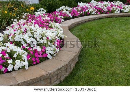Pink and White petunias on the flower bed along with the grass - stock photo