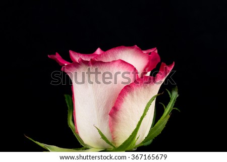 Pink and white rose black background close-up