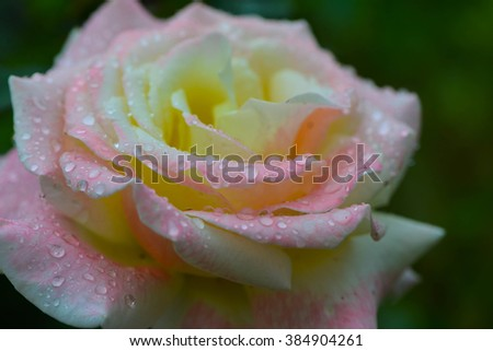 Pink and White Rose Spring time rain