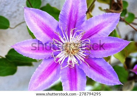 Pink and white single clematis flower on the vine - stock photo