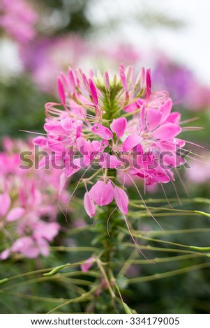 Pink And White Spider flower - stock photo