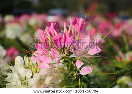 Pink white spider flower cleome spinosa garden stock photo royalty pink and white spider flowercleome spinosa in the garden mightylinksfo