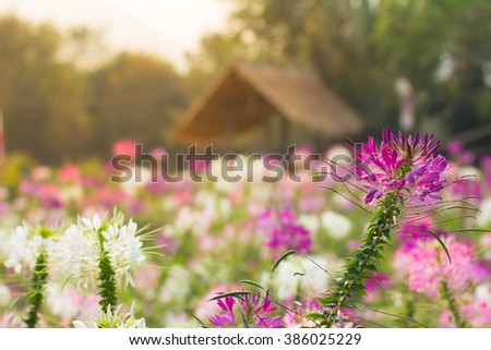 Pink And White Spider flower in the garden for background use. cottage , selective focus, Soft focus  - stock photo