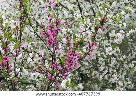 pink and white spring flowers of fruit trees - stock photo