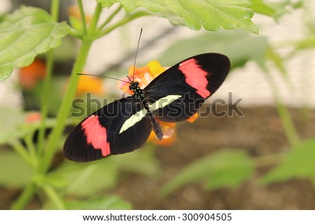 """Pink and white striped black """"Common Postman"""" butterfly (or Postman Butterfly) in Innsbruck, Austria. Its scientific name is Heliconius Melpomene, native  from Mexico to northern South America. - stock photo"""