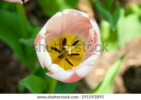 pink and white tulip - stock photo