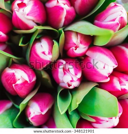 Pink and white tulips with green leaves- nature spring background. Soft focus and bokeh - stock photo