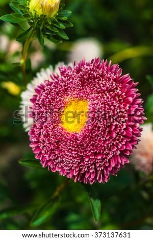 Pink and yellow aster closeup - stock photo