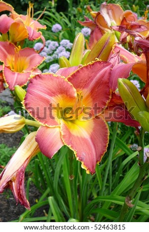 Pink and Yellow Daylily Flower, Chicago, IL - stock photo