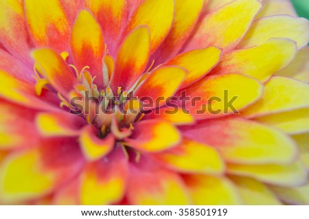 Pink and yellow hybrid Aster flower (Science name Callistephus chinensis, family name Compositae) in Rama 9 (local name) national garden, Bangkok Thailand - stock photo
