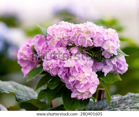 Pink and yellow  Hydrangea flower blooms and leaves on green background - stock photo